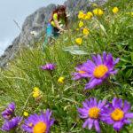 Alpenastern an der Dent de Ruth