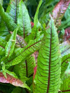 Read more about the article Chenopodium, Atriplex und Rumex