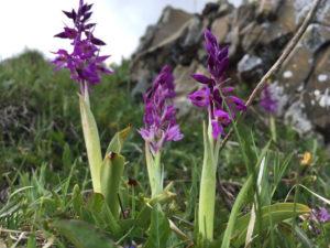 Knabenkraut-Orchideen