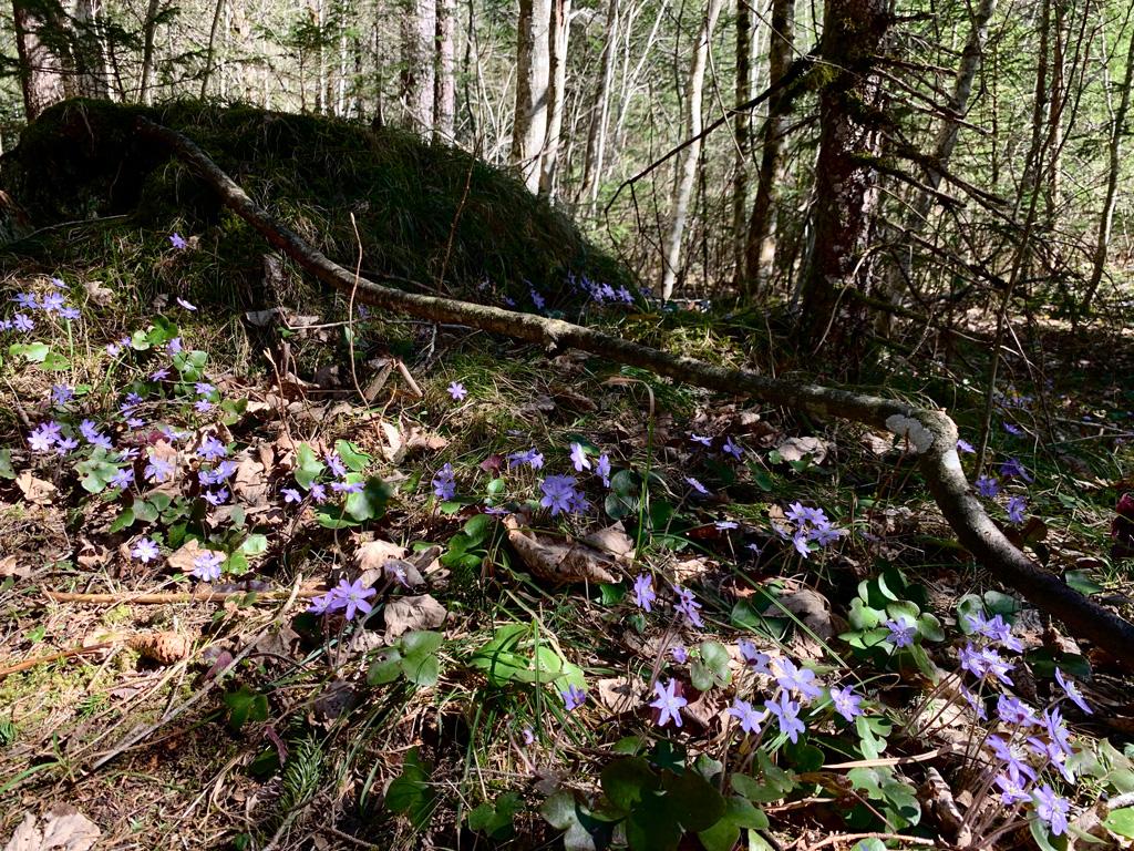 Lila Frühling mit Leberblümchen