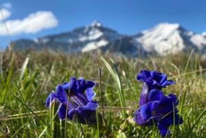 Read more about the article Enzianblau, so weit das Auge reicht