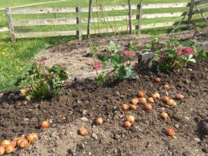Rosa blühende Erdbeeren und Steckzwiebeln