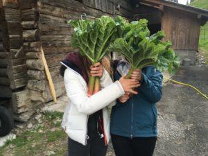 Meine Tochter und ihre Freundin halfen bei der Rhabarberernte