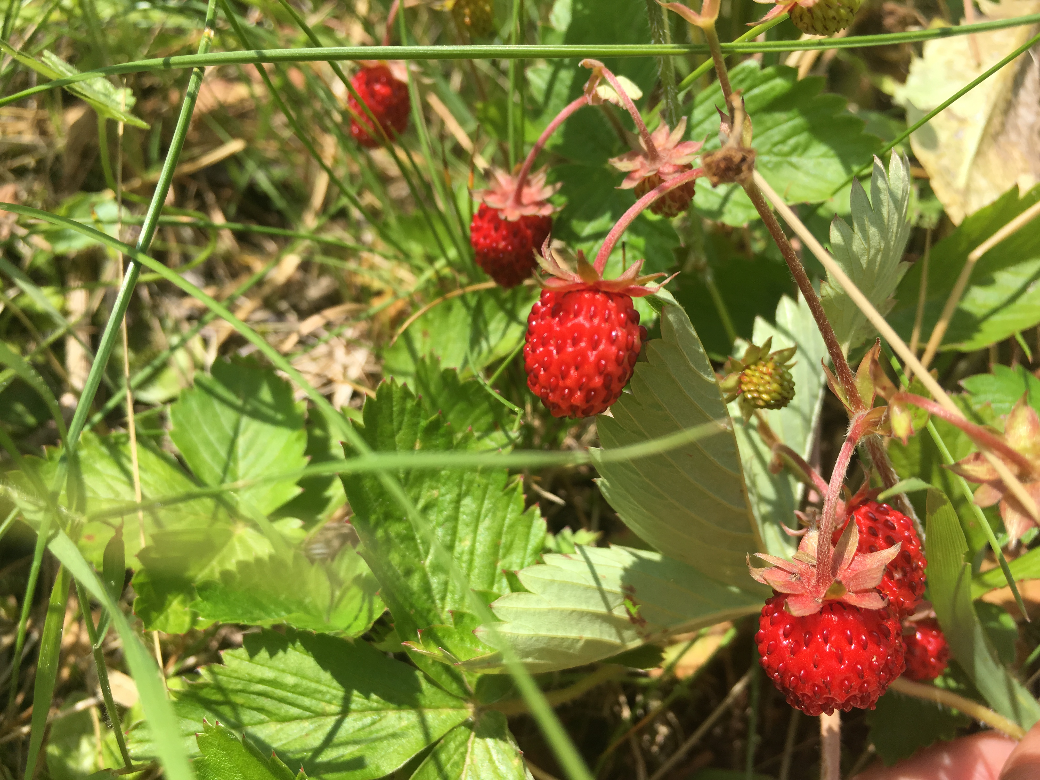 Wald- und Felderdbeeren