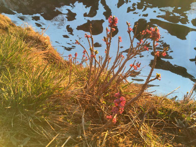 Seidelbast (Daphne mezereum), Foto: Sabine Reber