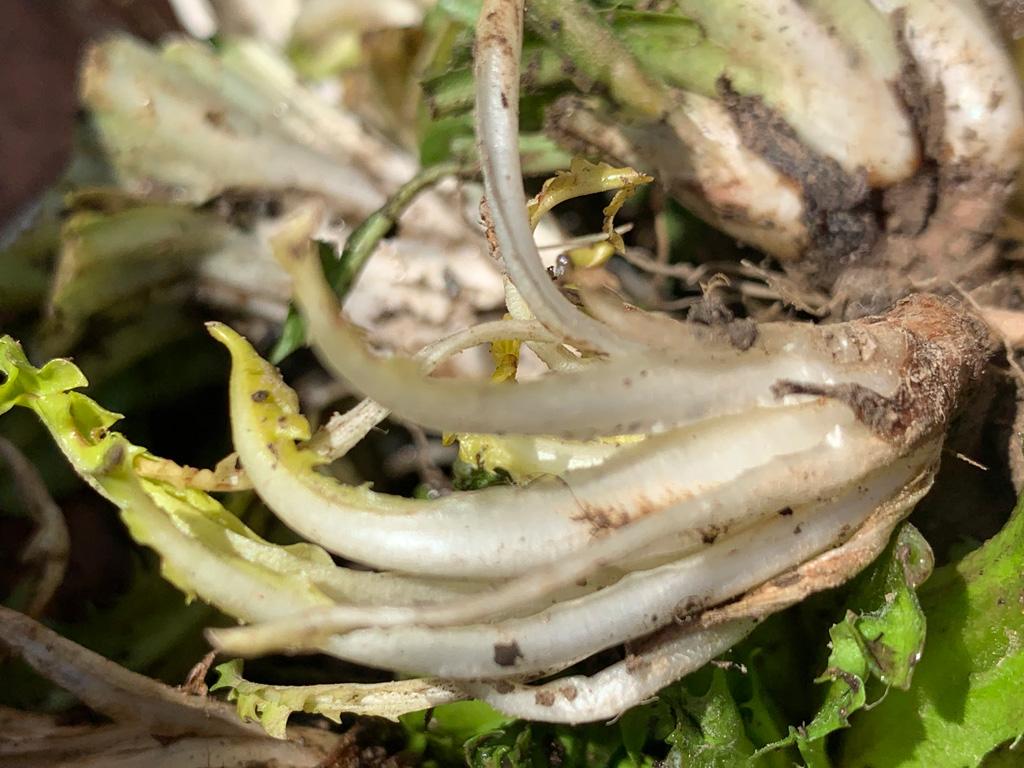 Löwenzahn-Salat