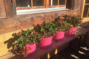 Read more about the article Die rosa blühenden Erdbeeren machen den ganzen Sommer über doppelt Freude