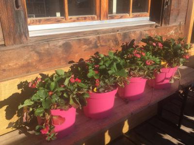 Die rosa blühenden Erdbeeren machen den ganzen Sommer über doppelt Freude