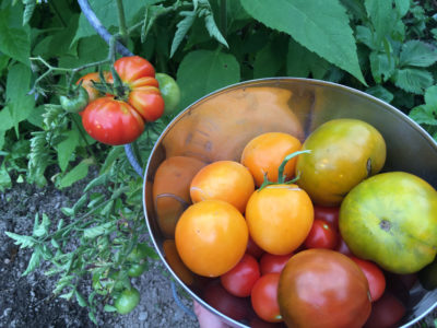 Russische und robuste Tomatenernte